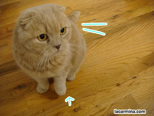 Owl faced scottish fold or coupari cat, prize winning cat show scottish Fold. where to buy rare earless purebred cat breed, floppy eared fluffy short-haired furry kitty. スコティッシュフォールド, 猫, best silly pet photos, Japanese style pet blog and books