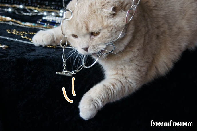 ADORABLE SCOTTISH FOLD CAT PLAYING WITH JEWELRY, CATS SWATTING NECKLACE AND DANGLING FEET, WHERE TO BUY PUREBRED FOLD-EARED KITTENS, DANGLING PAWS,