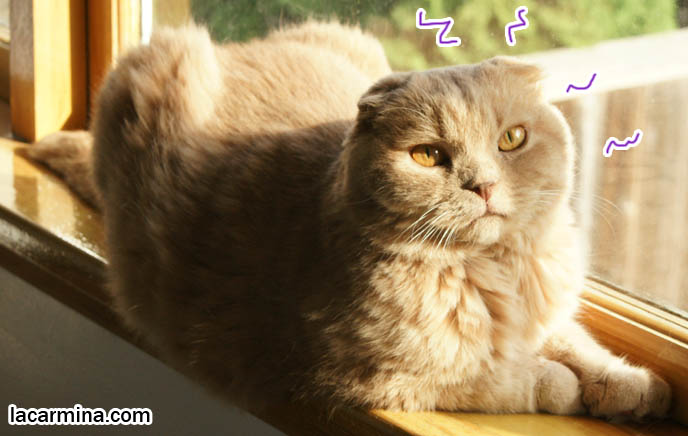 PET CAT SUNTANNING ON WINDOW SILL. SCOTTISH FOLD LION TEDDY BEAR KITTY, ROUND FACE, SHORT NOSE PUREBRED KITTEN, cat with eyes closed, big face, cutest cat in the world, famous pets, lolcat photos, silly pet pose pictures, earless cat, fat cats, lolcats, Famous celebrity pets, Farrow Scottish Fold, スコティッシュフォールド,  猫