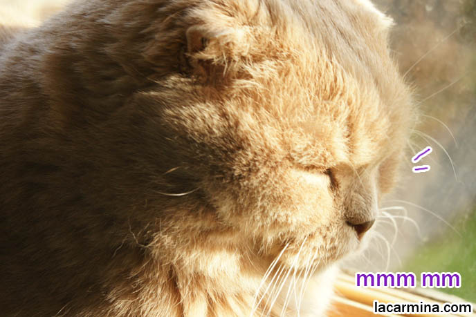 PET CAT SUNTANNING ON WINDOW SILL. SCOTTISH FOLD LION TEDDY BEAR KITTY, ROUND FACE, SHORT NOSE PUREBRED KITTEN, cat with eyes closed, big face, cutest cat in the world, famous pets, lolcat photos, silly pet pose pictures, earless cat, fat cats, lolcats, Famous celebrity pets, Farrow Scotti