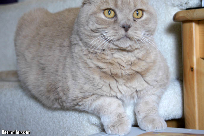 BABY KITTEN SITTING ON STAIRCASE, RUNNING UP STAIRS, BIG PAWS TIGER CUB CAT. SWEET LAZY CAT. CAT WITH NO EARS, CHEWED OFF MISSING EARS. TIGHTLY FOLDED FLOP-EARED SPECIAL BREED, PUREBRED SCOTTISH FOLDS. cute Scottish Fold cat, cutest scottish fold kittens and cats, スコティッシュフォールド,  猫