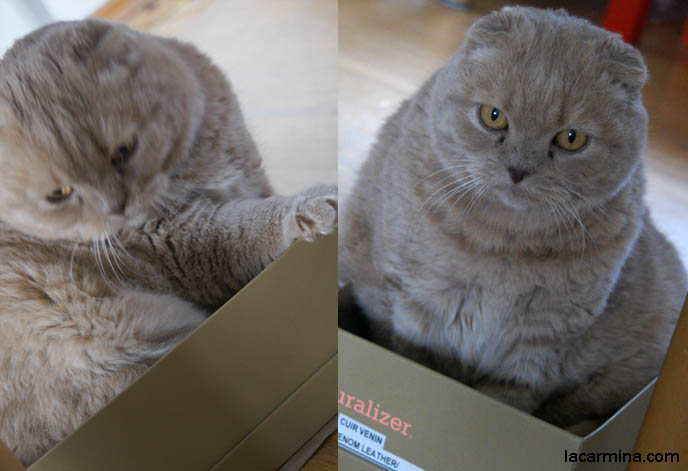 Scottish Fold Cat Squeezes Into Shoe Box Fat Cat In Too Small
