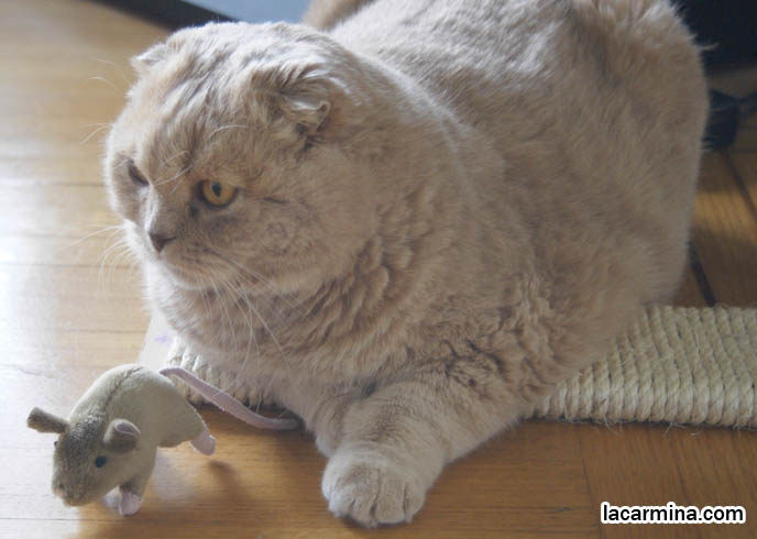 CREME OR FAWN COLORED BRITISH SHORTHAIR FOLD-EARED CAT PLAYING WITH MOUSE TOY, PLAYING WITH YOUR CATS. KITTEN PHOTOS. fattest cat in the world, BEST CAT PICTURES, SILLY PET PHOTOS, SCOTTISH FOLD LOLCAT. BABY FACE KITTY. cute Scottish Fold cat, cutest scottish fold kittens and cats, スコティッシュフォールド,  猫