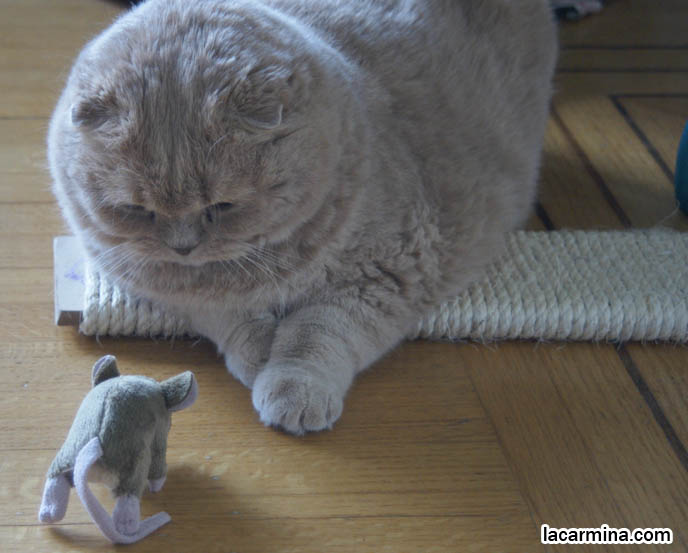 CREME OR FAWN COLORED BRITISH SHORTHAIR FOLD-EARED CAT PLAYING WITH MOUSE TOY, PLAYING WITH YOUR CATS. KITTEN PHOTOS. fattest cat in the world, BEST CAT PICTURES, SILLY PET PHOTOS, SCOTTISH F