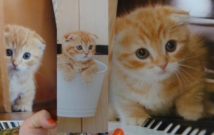 Orange Scottish Fold Kitten | www.imgkid.com - The Image ...