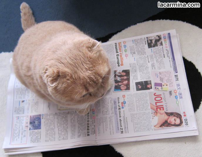 FAT CAT SITTING ON NEWSPAPER, LOLCAT. WHY DO CATS SIT ON BOOKS, MAGAZINES, INTERRUPT READING FOR ATTENTION. FUNNY CAT, CELEBRITY PET PHOTOS, FAMOUS FAT CATS. SPOILED CELEBRITY CATS, SCOTTISH FOLD PUREBRED BREEDER. SCOTTISH FOLD BABY CAT PHOTOS, CUTEST PUREBRED RARE BREEDS OF CATS, FOLDED EARS GENE, GENETIC DEFORMITY IN CATS HEALTH ISSUES, cute baby kitten scottish folds, munchkin fold eared PET CAT PHOTOS,  スコティッシュフォールド, 猫