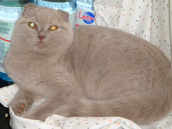BABY LILIC GREY SCOTTISH FOLD KITTEN FROM GERMANY. WHERE TO FIND CUTE, PUREBRED FOLDS IN EUROPE. BABY SCOTTISH FOLD CATS, PET CAT PHOTOS AND OWNER, STUFF ON MY CAT, CATS DRINKING FOUNTAINS, ADORABLE cutest scottish fold kittens and cats, スコティッシュフォールド,  猫