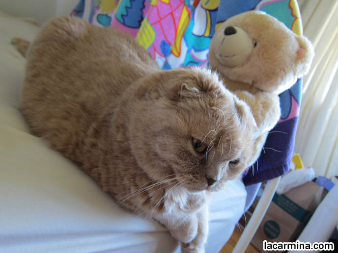 Cream Colored Fur On Cat Yellow Cats With Brown Noses Teddy Bear