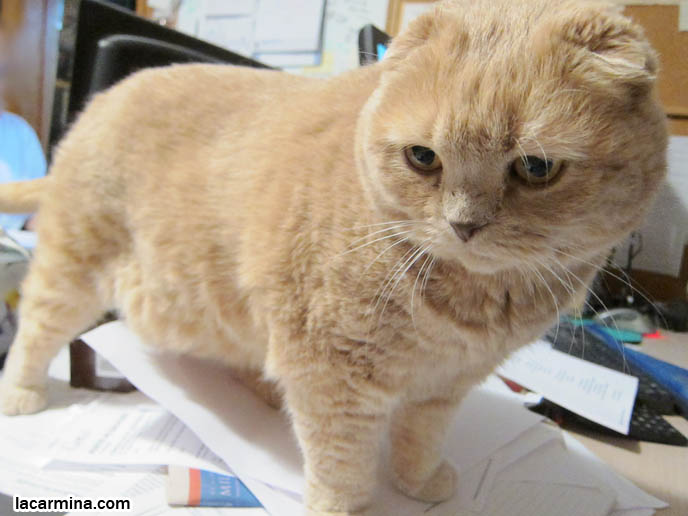 ... USA and Canada, best cat NAMES, RARE purebred felines, FAT CATS, fold
