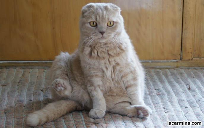 Cat Sitting Like A Buddha Yoga Meditation Buddhist Pose Pouting Face Yellow Pet Cat