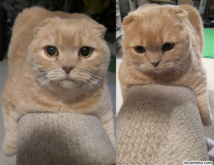 British Shorthair Cross With Scottish Fold Cat Cutest