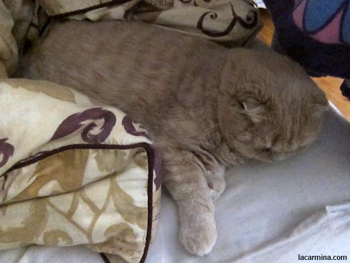 Canada Where Buy Munchkin Kitten British Shorthair Smartest