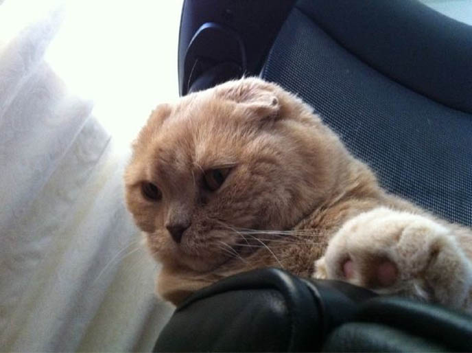 cutest cat ever, cute scottish fold, cats scottish folds, CLEANING SCOTTISH FOLD CAT'S FOLDED EARS. GIVING CATS BATHS, HOW TO WASH A CAT. TIPS FOR TRAVELING WITH PETS, TAKING CATS FOR CAR RIDES. PET TRAVEL, DESIGNER CARRYING CASES FOR SCOTTISH FOLDS. KINDEST GENTLEST SMARTEST BREED OF CAT: SCOTTISH FOLD. FOLDED EARS, SCOTTISH FOLD KITTENS FOR SALE, BREEDERS. SHOW WINNING PUREBRED CATS, COUPARI, BRITISH SHORTHAIR CREAM YELLOW CAT. Scottish fold cat, cutest cat in the world, cutest cat ever, cute cat, scottish folds, kittens, funny looking cat, folded ears, earless cat, no ears, purebred cats, cute pets, pet contest, show cat winner, award winning cats, celebrity kitty, neko, basil farrow, Ronan Farrow, mia farrow, lacarmina, la carmina, famous cats, adorable klitty, funny pet photos. japanese cat blog