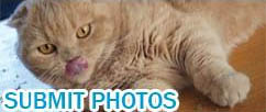 Scottish Fold cat photos, cutest cats videos, funny video pets lolcats