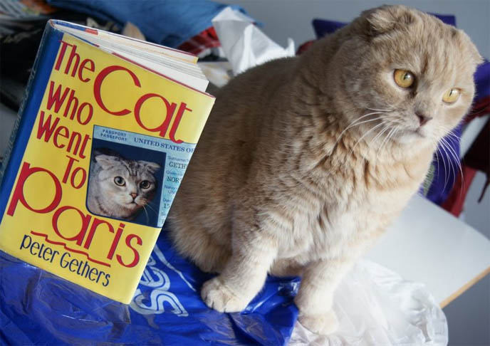 Cutest Cat in the world, earless round owl-faced teddy bear kitty, Basil Yuen Farrow. Cream yellow Scottish Fold cat with Norton books, The Cat who Went to Paris, A Cat Abroad, The Cat who Lived Forever.