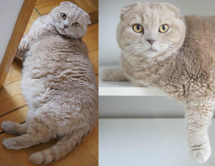 Cutest cat, Scottish Fold kitten. Fat yellow Garfield cat, round furry fat cat. Cute plush cat, foldy ears
