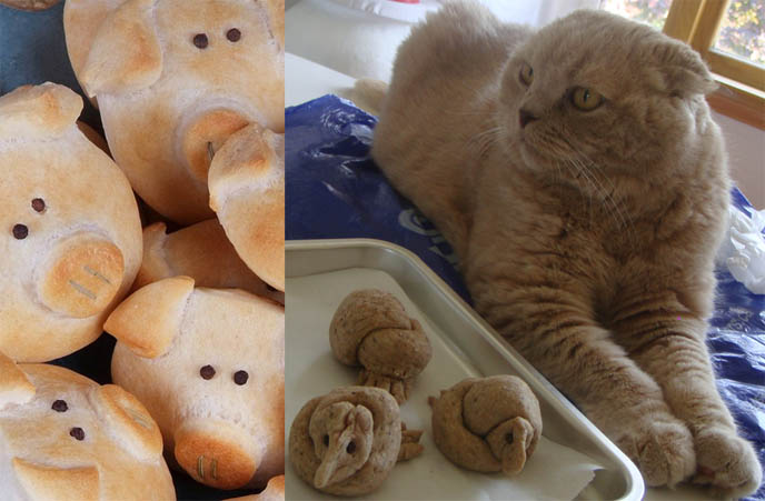 pig bread, cute baked bird bread, how to bake cute animal bread rolls with faces, adorable faces on bentos, cute yummy time. Cutest Scottish Fold cat  with tiny ears, earless cat or kitten from american breeder, piggy shaped rolls