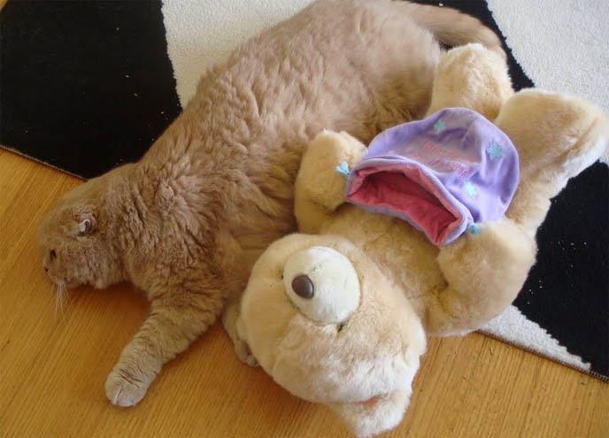 cute Scottish Fold cat snuggling stuffed toy, Forever Friends Hallmark teddy bear, plush animal for pets, two teddy bears with tiny ears, earless cat or kitten from american breeder