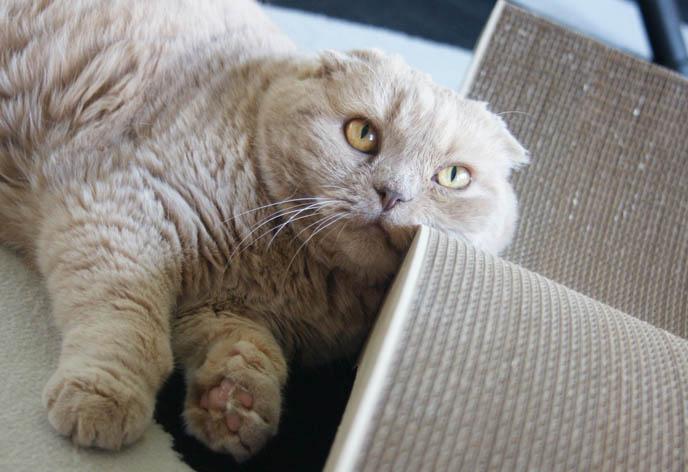 Cute Scottish Fold Cat, MODERN CAT FURNITURE, DESIGNER CAT SCRATCHER  MODELED BY CUTE FAT