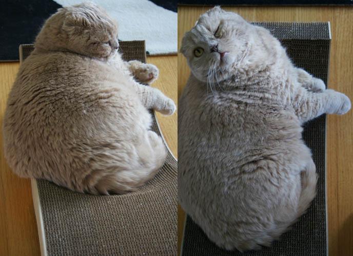 Merveilleux Yellow Scottish Fold Cat, MODERN CAT FURNITURE, DESIGNER CAT SCRATCHER  MODELED BY CUTE FAT