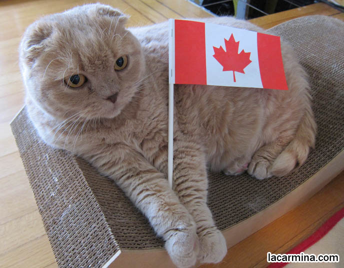 cute scottish fold cat, scottish fold kittens, munchkin cats, kitty holding canada flag, basil farrow, cutest cat in the world, fat cats, canada day paper flags
