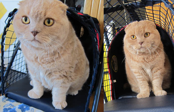 cute scottish fold cat, baby scottish folds kittens for sale, round face folded eared pet housecat, pet strollers and carrier cages, designer pet gear, jeep, BASIL IN A CAT STROLLER! CRAZY CAT LADY OUTFIT, SPOILED PAMPERED PET ACCESSORIES. FUNNY CELEBRITY PETS. kittywalk systems stroller sport, scottish fold cat, baby bear cub, lolcat photos, fat cats