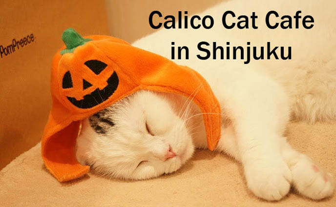 cat cafe japan tokyo japanese cat cafes cosplay theme restaurants kagaya bar izakaya weird strange bizarre foods animal restaurant crazy wacky shinjuku calico cat puppets costumes frog  pub bar craziest dress-up crossdressing book travel attractions tourism visit