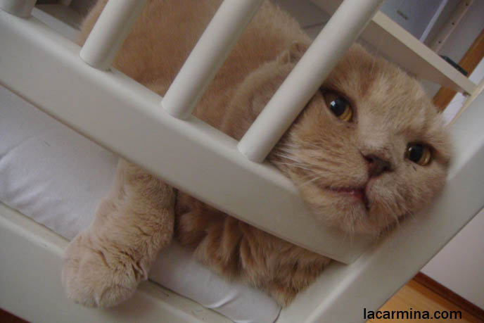 Cute Scottish Fold cat behind bars, nose poking through cat carrier cage jail cell, funny face LOLCAT, big fat round furry pet animal face, close-up kitten nose and yellow eyes, cutest cat in the world Basil Farrow kawaii neko.