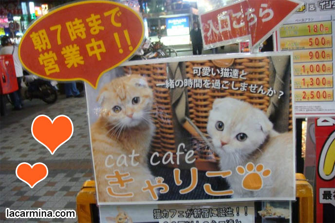 Japanese cat cafe, Shinjuku cats poster, weird wacky crazy theme restaurants in Japan, eating at cafes with pet cats, animals. La Carmina book about theme eateries, strangest dining experiences in Tokyo. Cute orange and yellow scottish fold cats, floppy ears baby kittens