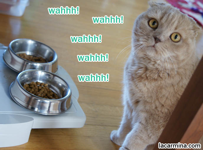 WHAT TO FEED PET SCOTTISH FOLD CAT. BEST HEALTHY BYPRODUCT-FREE BRANDS OF CAT FOOD, DUST-FREE LITTER, WET & DRY FOOD, CATGRASS, cute cat eating from metal food bowls, lolcat photos, silly pet pose pictures, earless cat, fei mao mao, Famous celebrity pets, Farrow Scottish Fold, スコティッシュフォールド, 猫