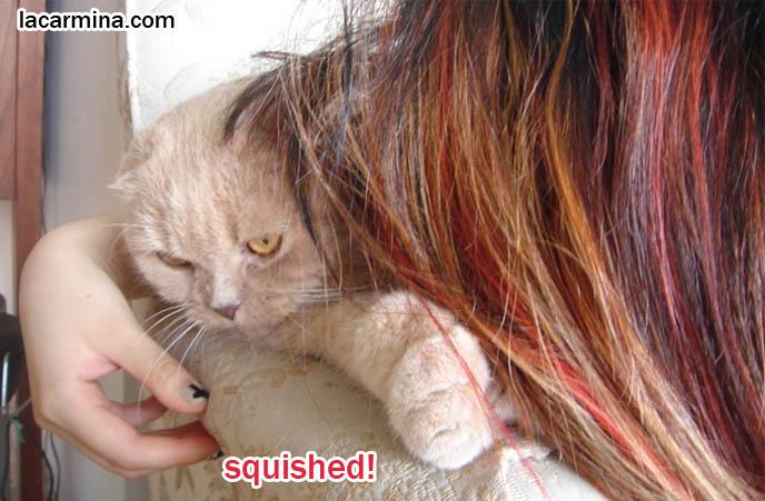Scottish fold cat, cute scottish folds, foldy-eared kittens, purebred american breeder of coupari or scottish fold cats, solid cream flop-eared kitty Basil Farrow