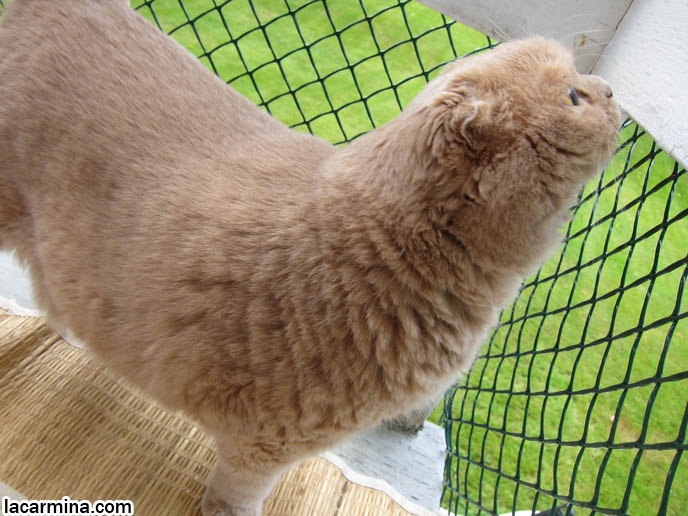 MY CAT'S CATIO: ENCLOSED BALCONY, OUTDOOR PRIVATE PATIO FOR CATS. SAFE PETS ENCLOSURE, catios showcase, decks for kittens, Chicken wire fence for cats, cute cream yellow scottish fold, purebred scottish folds, kittens