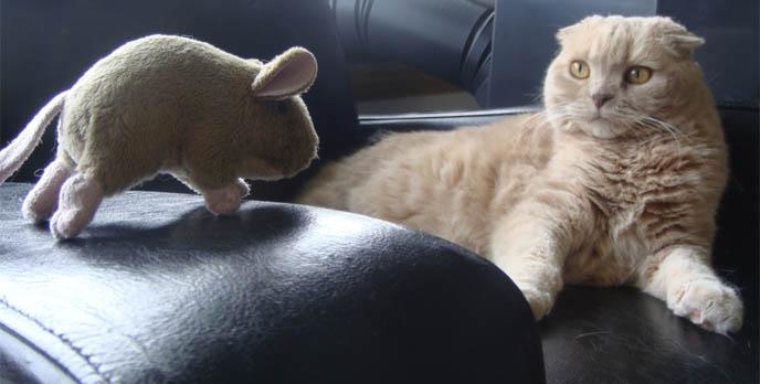 cutest cat ever, cute scottish fold, cats scottish folds, CUTEST CAT VIDEO: SCOTTISH FOLD MEOWING & PLAYING. RED DYED HAIR, ALTERNATIVE MAKEUP, BLACK & WHITE SMOKY EYES. HOW WINNING PUREBRED CATS, COUPARI, BRITISH SHORTHAIR CREAM YELLOW CAT. Scottish fold cat, cutest cat in the world, cutest cat ever, cute cat, scottish folds, kittens, funny looking cat, folded ears, earless cat, no ears, purebred cats, cute pets, pet contest, show cat winner, award winning cats, celebrity kitty, neko, basil farrow, Ronan Farrow, mia farrow, lacarmina, la carmina, famous cats, adorable klitty, funny pet photos. japanese cat blog