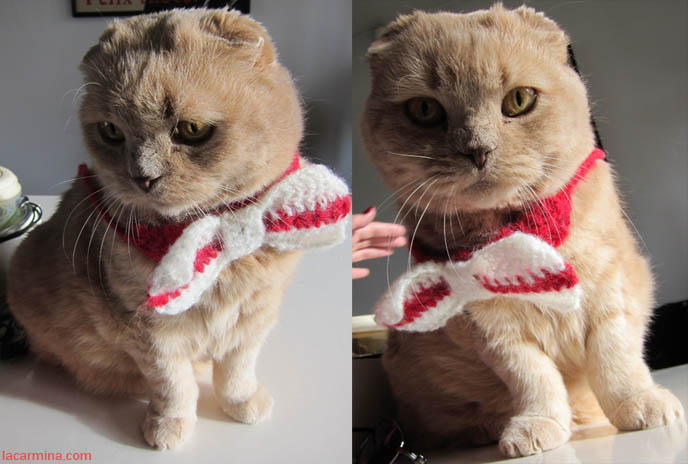 CAT WEARING BOW TIE, cats wearing clothes, scottish fold in clothing, pet outfits, japanese pet accessories, designer handmade collars, CUTE CAT CHRISTMAS CARD! MERRY XMAS & HAPPY HOLIDAYS FROM LA CARMINA & CUTEST CAT EVER, BASIL FARROW. CUTEST CAT IN THE WORLD, SCOTTISH FOLDS, buy scottish fold kittens, breeders, purebred cats, british shorthair, no ears cat breed, funny looking cats, cute baby kitty sleeping, funny cats, pet photography, curled up teddy bear, plush toy bears, kawaii neko