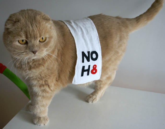 cutest cat ever, cute cat, scottish fold, fat face cat breed, round british shorthair, funny pets wearing clothes, pet clothing, basil farrow NOH8 photos, japanese no h8 CAMPAIGN PHOTOSHOOT IN TOKYO, JAPAN! MARCH 27, NEW LEX ROPPONGI. Noh8 twibbon, add logo to twitter, posters video no h8, join, contact, organize a photo shoot, photo call, noh8worldwide, gay marriage protest prop 8, gay rights, sebastiano serafini, celebrity noh8 photos, adam bouska, protest proposition 8, lgbt, familiar faces, famous people in gay rights campaign, charity, noh8 events calendar press interviews